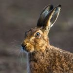 hare-wilderland-fusek-peters-1