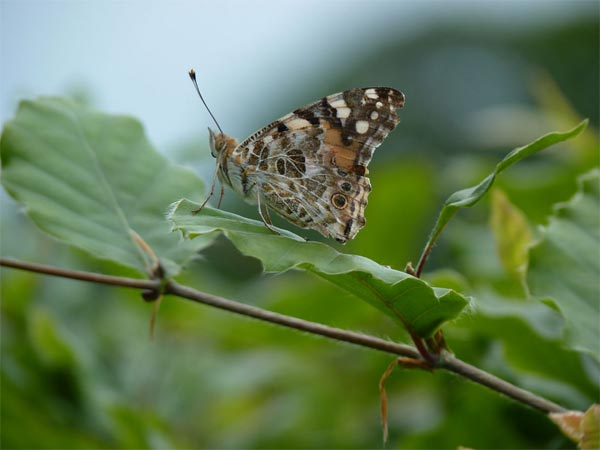 Painted Lady, our garden – 05.06.2010