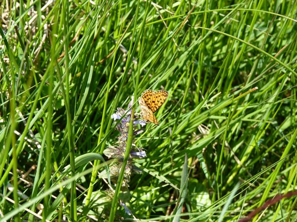 Small Pearl-bordered Fritillary during timed count, Stiperstones – 20.06.2010