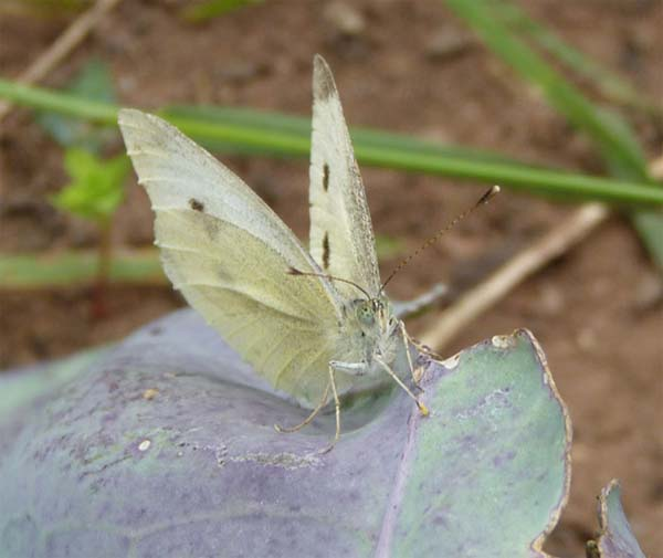 Small White with egg, our garden – 13.08.2010